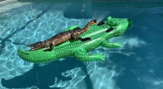 Jacaré invadiu piscina em Miami