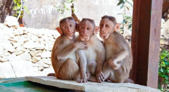 Na Índia, macacos roubam amostras de sangue com Covid