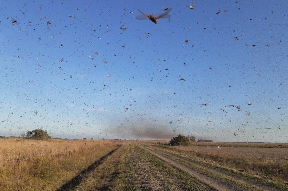 Nuvem de gafanhotos ataca lavouras na Argentina