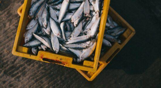 Saiba quais peixes podem causar a síndrome da urina preta