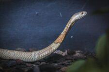 Cobra Naja que picou estudante em Brasília faz ensaio fotográfico no zoológico, em imagem de arquivo — Foto: Ivan Mattos/Zoológico de Brasília